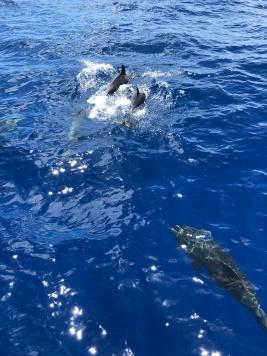 Dolphins near the Huki Pono bow.