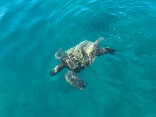 The harbor turtle came to check out our operation today.